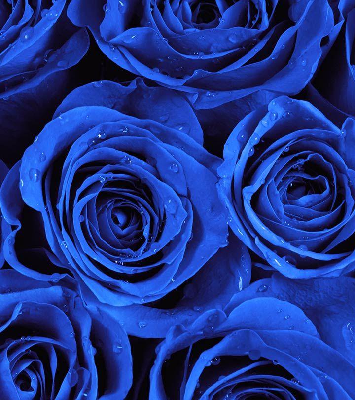 Картинки цветы розы синие красивые нет