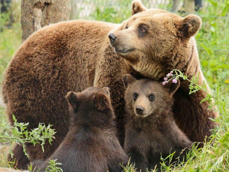 же, картинки медведицы с двумя медвежатами эфиопии