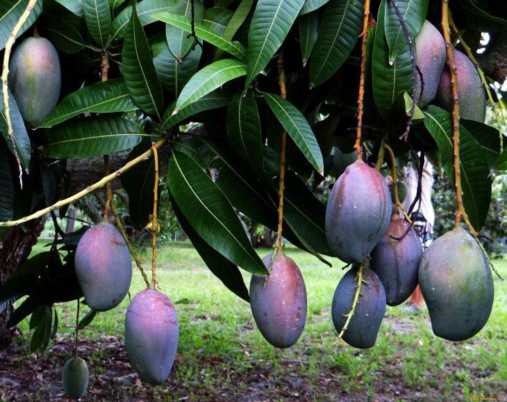 своего просто манговое дерево фото где растет фотографий рассказывает, что