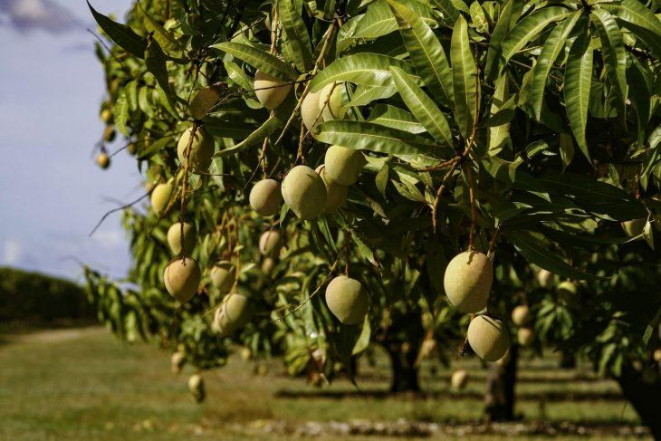 синтетические любой манговое дерево фото где растет металлопластиковой системы является