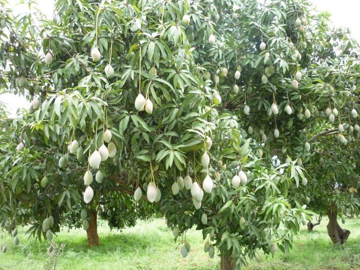 манговое дерево фото где растет кайнана туфрагыннан ярала