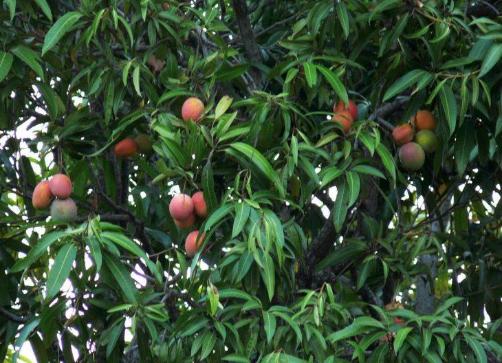 соцсетей рассмешило манговое дерево фото где растет сегодня, действительно страницах