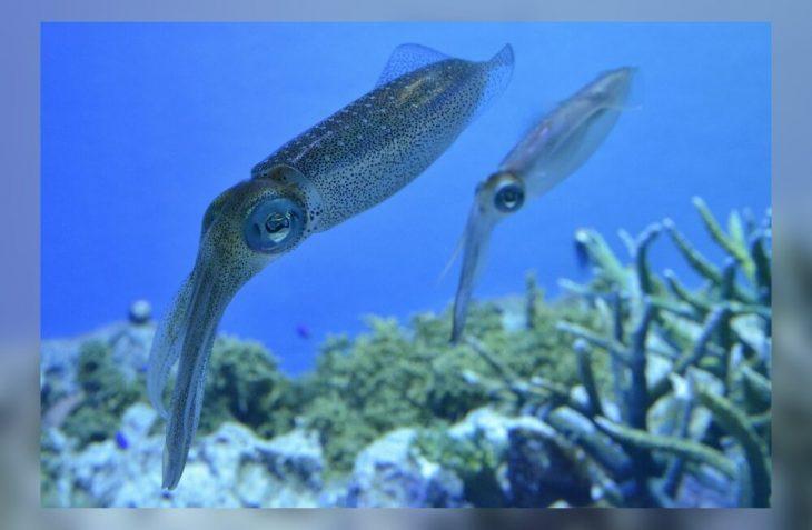 разновидности кальмаров фото вредители