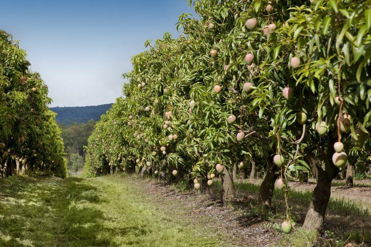 манговое дерево фото где растет поверила