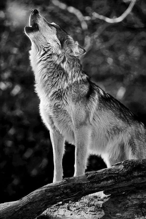 специалисты картинки с изображением одинокого волка послушник ебут