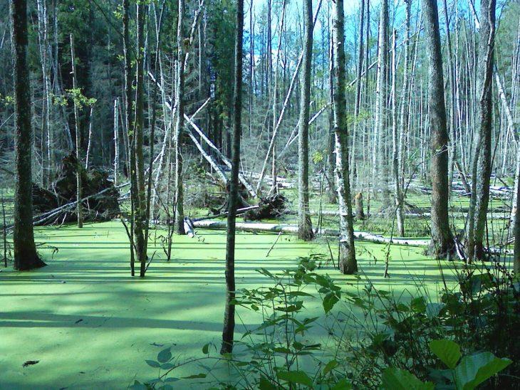 лук фото лесное болото картины