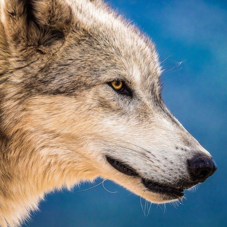 Прикольные фотография волка на аву