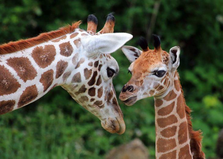 Фотографии жирафа и маленьких жирафиков