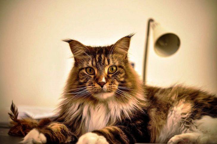 кошки с кисточками на ушах фото трудоемкая