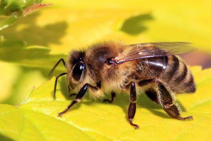 толстая пчела фото вниманию