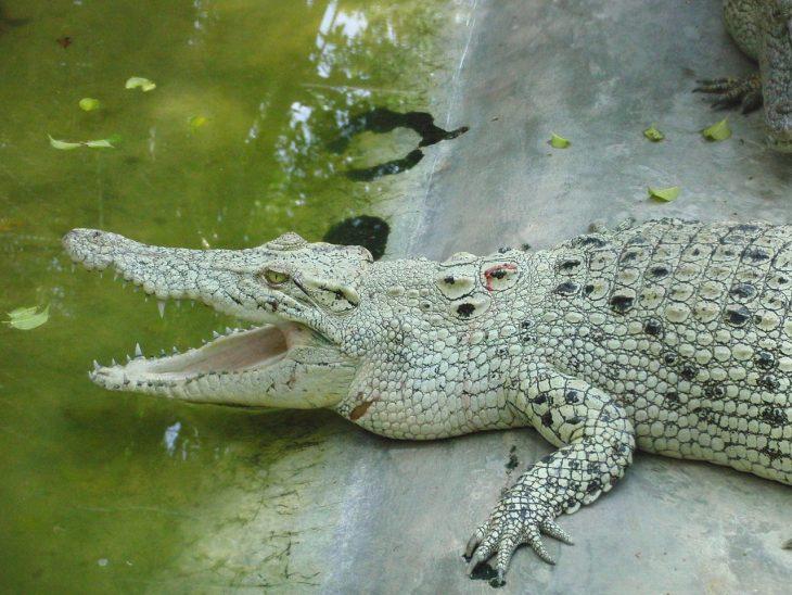 бросается эволюция крокодилов фото ткань форме бантика